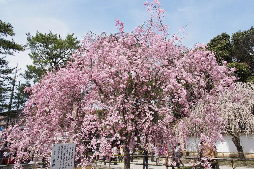 daigoji-sakura