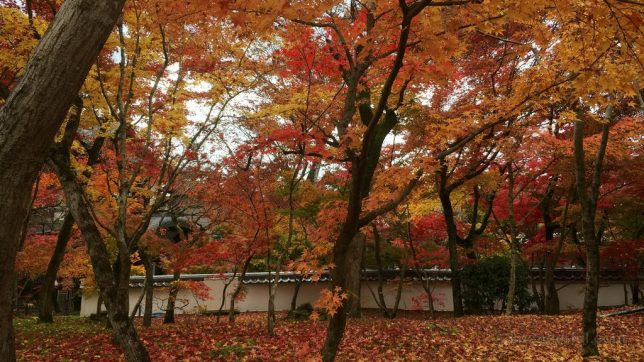 eikando maple leaves