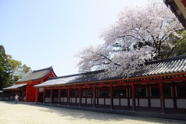 iwashimizu hachimangu cherry