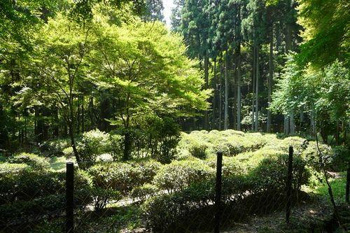 ●Tea fields in Kozan-ji photo by nisitakisyou 10
