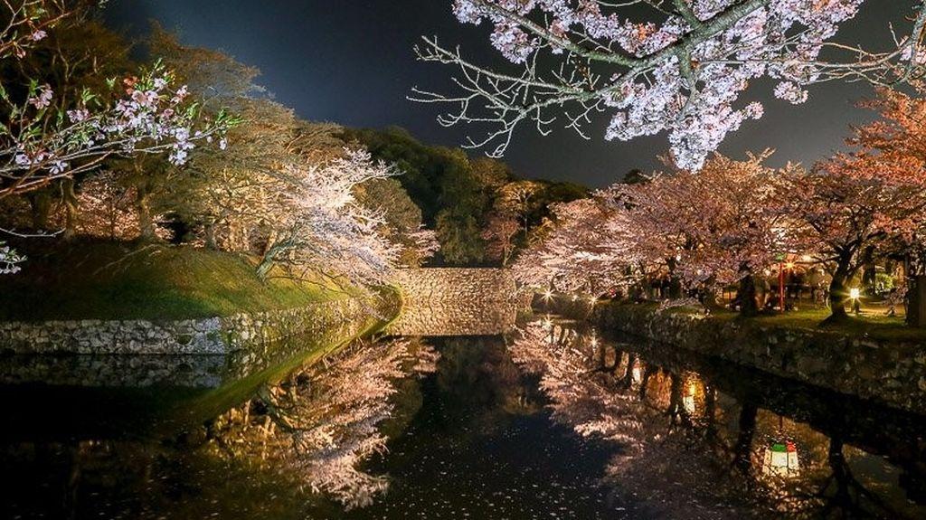 hikone sakura