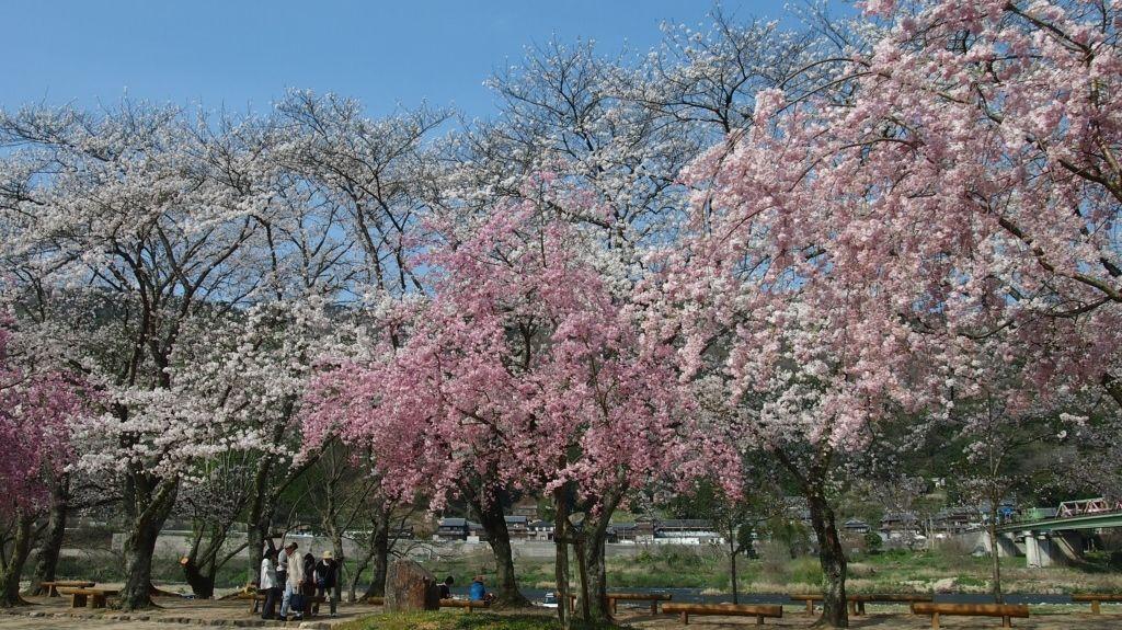 kasagiyama blossoms