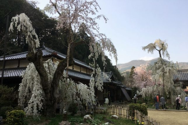 cherry tree ono-ji