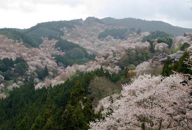 This image has an empty alt attribute; its file name is yoshinoyama3-644x436.jpg