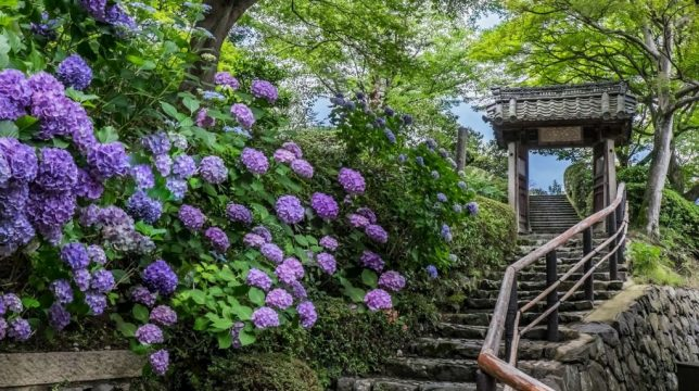 yoshimine-dera-hydrangea