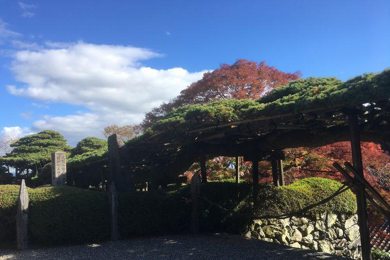 Yoshimine-dera pine tree