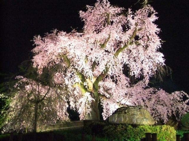 Maruyama park cherry tree