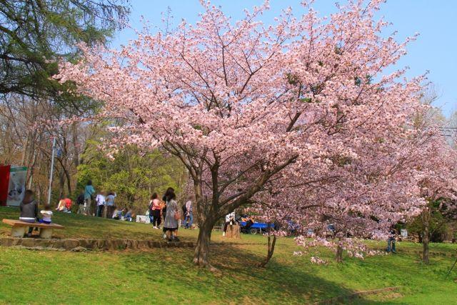 Maruyama park cherry blossom