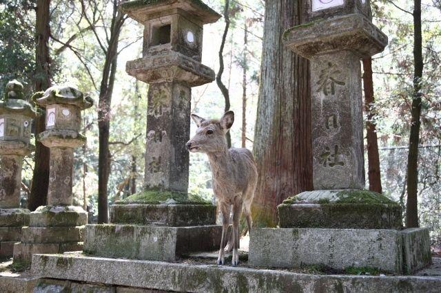 kasuga-taisha deer