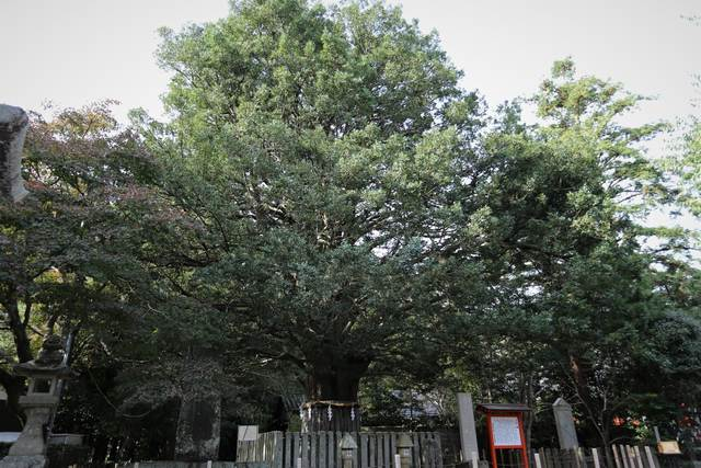 hayatama taisha conifer tree