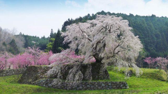 matabei zakura