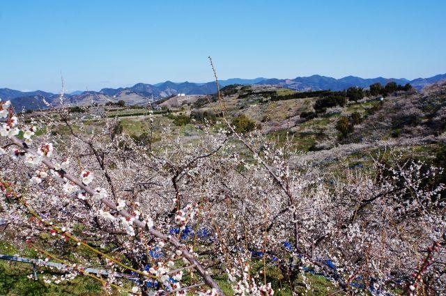 Minabe plum