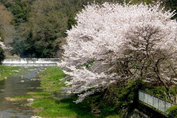 settukyo sakura