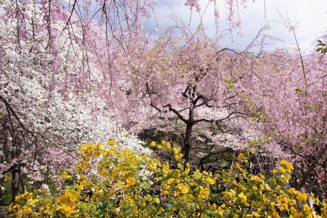 haradani-en sakura