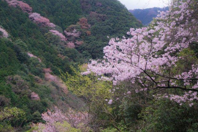 inunakisan sakura